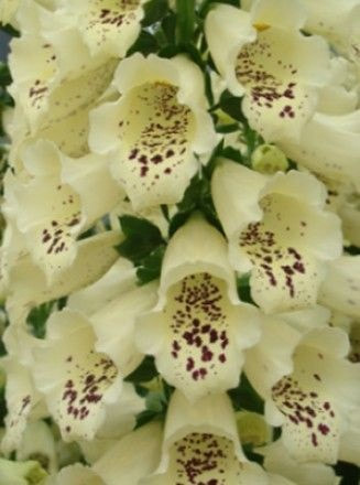 Digitalis (Foxglove) Dalmatian Cream